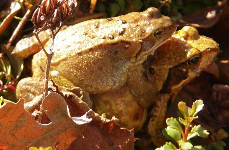 Grasfrösche bei der Paarung – entdeckt von Klaus Mönch von der Abteilung Natur- und Umweltschutz in seinem Garten. Foto: Klaus Mönch