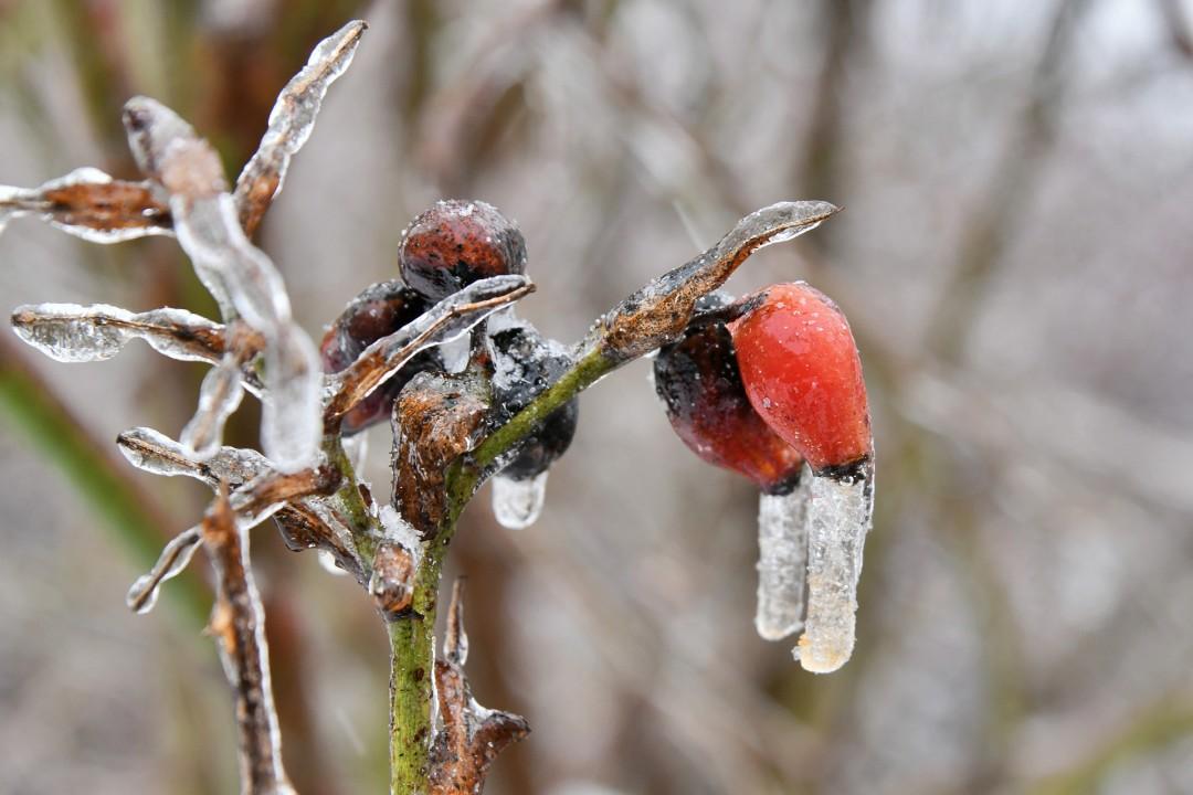 Fraost und Eis: Die ersten Knospen sind von einer dicken Eisschicht überzogen. Foto: Mathias Kehren