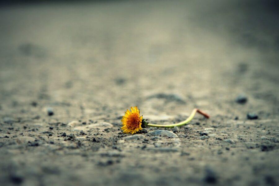 Eine Blume liegt auf dem Asphalt. Foto: pixabay/symbolbild